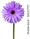 Purple And Pink Daisy Isolated...