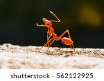Small photo of Ant walk
