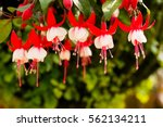 Red White Bells Of Fuchsia...