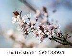 Small photo of Cherry Plum