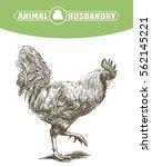 chicken breeding. animal... | Shutterstock .eps vector #562145221