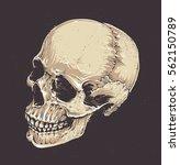 anatomic grunge skull vector... | Shutterstock .eps vector #562150789