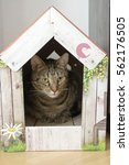 Small photo of Male marble cat with clever stern and serious expression on his face, hidden in his color romantic cardboard house, lime eyes