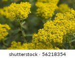 Small photo of Selective focus image of the alyssum murale.