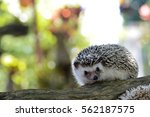Young Hedgehog In Natural...