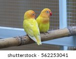 colorful little yellow parrot... | Shutterstock . vector #562253041