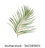 green leaves of palm tree... | Shutterstock . vector #562285831