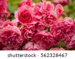 Pink Roses With Buds On A...