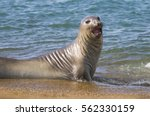 elephant seal  patagonia ... | Shutterstock . vector #562330159