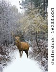 Beautiful Red Deer Stag In Sno...