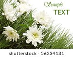 Flowers in green grass on white background with copy space.  Macro with shallow dof. - stock photo
