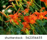 Blooming Orange Daylily Called...