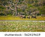 elephants family in wild nature.... | Shutterstock . vector #562419619
