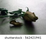 Close Up Of Withered Rose...