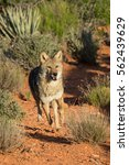 Coyote Close Up Running Throug...