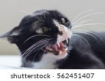 Stock photo angry cat 562451407