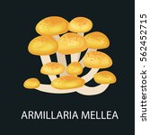 Armillaria Mellea Isolated ...