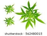 marijuana white background... | Shutterstock . vector #562480015