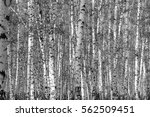 birch forest background  black... | Shutterstock . vector #562509451