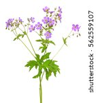 geranium  geranium pratense ... | Shutterstock . vector #562559107