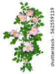 Wild Rose Flower Isolated On...