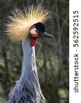 Small photo of The Grey Crowned Crane (Balearica regulorum) is a bird in the crane family Gruidae. It occurs in dry savannah in Africa, south of the Sahara, although it nests in somewhat wetter habitats.