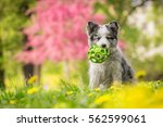 Stock photo cute little blue merle border collie puppy sitting with the ball in colorful park 562599061