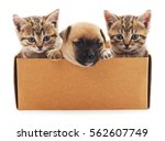 Stock photo puppy and two kittens in a box isolated on white background 562607749