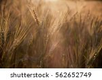 barley field | Shutterstock . vector #562652749