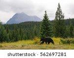 grizzly bear ii   Shutterstock . vector #562697281