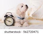 Stock photo cute little golden retriever puppy with wind up keywound alarm clock 562720471