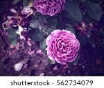 Stock photo roses in the garden vintage pastel 562734079
