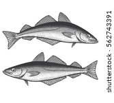pollock fish | Shutterstock .eps vector #562743391