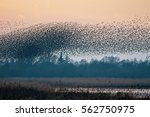 A Murmuration Of Starlings As...