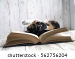 Stock photo funny calico cat lying among the books young cat playing with books 562756204