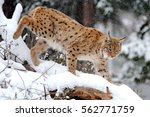 beautiful wild lynx in winter | Shutterstock . vector #562771759
