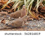 Pair Of Mourning Doves  Zenaid...