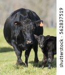 Black Angus Cow With A Calf