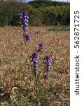 Small photo of purple Linaria flowers