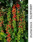 coffee beans ripening on a tree. | Shutterstock . vector #562893889