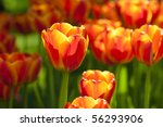 Bright Orange Yellow Tulips
