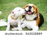 Stock photo beagle and jack russell 563028889