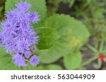 Small photo of Ageratum Mexican. Ageratum houstonianum. Ageratum houstonianum. Garden plants. Flower. Close-up. Horizontal