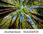 Sequoia Forest From Below
