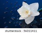 White Narcissus On Blue...