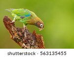 Small photo of Red-crowned parrot, Amazona viridigenalis, Costa Rica.