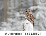 Tawny Owl During Winter  Snowy...