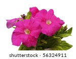 Hothouse Plant A Petunia For...