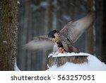 Falcon Witch Catch Dove....
