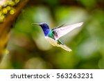 humming bird flies | Shutterstock . vector #563263231